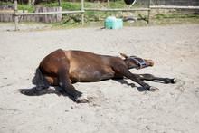 Horse Is Sleeping On Paddock