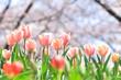 桜の背景にチューリップ