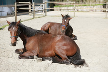 Two Young Horses Lie On Paddock
