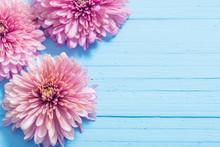 Pink Chrysanthemums On Blue Wo...