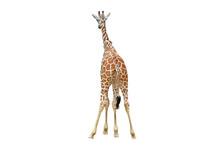 Back Of Giraffe
