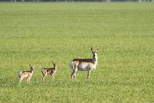 Family Of Pronghorn Antelope O...
