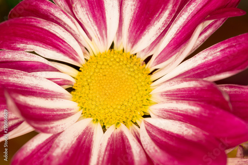 Foto op Canvas Macrofotografie The blossom of a chrysanthemum