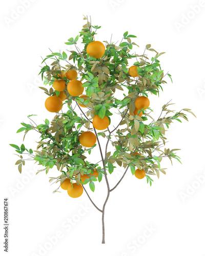 orange tree with oranges isolated on white background