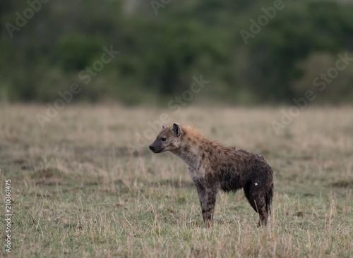 Spotted hyena in Masai Mara