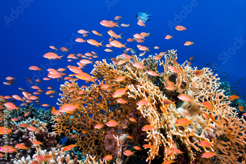 Photo  A school of Lyretail anthias (Pseudanthias squamipinnis) surrounding a large hard coral, small fish with bright orange body