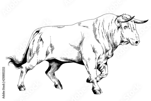 Valokuva  big bull striker with horns drawn in ink on white background sketch