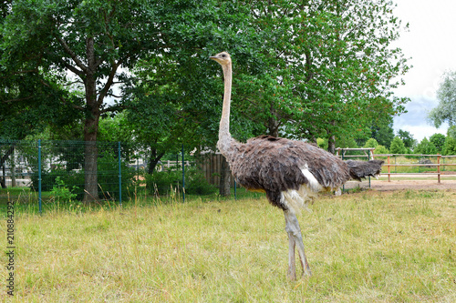 Poster Struisvogel Domesticated wild african black ostrich (struthio camelus) is walking in aviary outdoors on green grass field and trees background with copy space on grass.