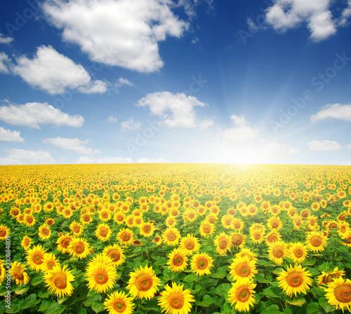 In de dag Zonnebloem field of sunflowers