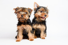 Cute Two Puppy Yorkshire Terrier