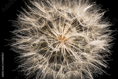 Dandelion seed head, Colorado, USA