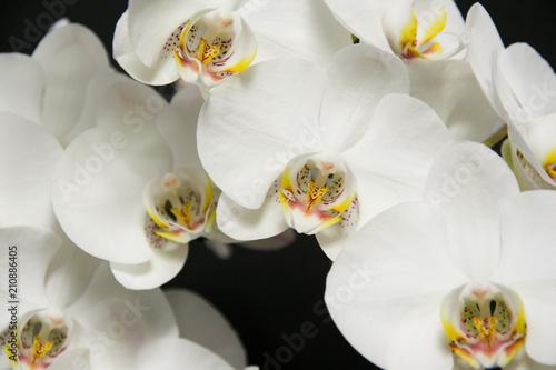Storczyk - piękne białe kwiaty - 210886405