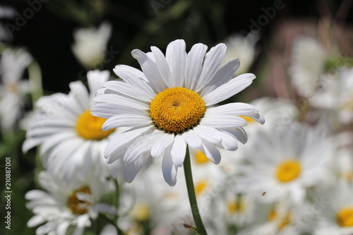 Deurstickers Madeliefjes Margeriten (Leucanthemum) - Korbblütler (Asteraceae)