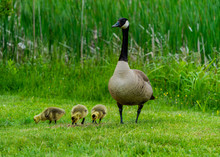 Canada Goose And Goslings.