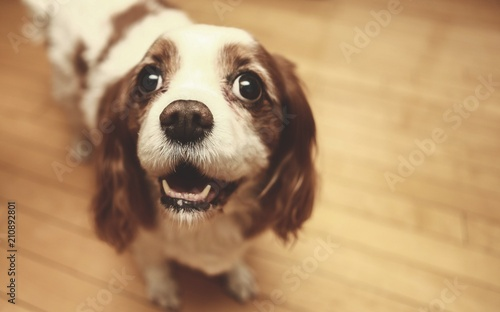 Canvas Print cavalier king charles spaniel waiting for the treat