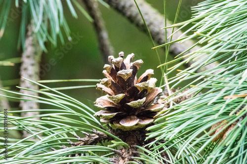 Fototapeten Natur Pine cone on a tree
