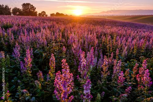 La pose en embrasure Noir Champ de sauge sclarée, lever de soleil. Valensole, Provence, France.
