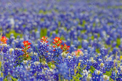 Texas Bluebonnets Canvas Print