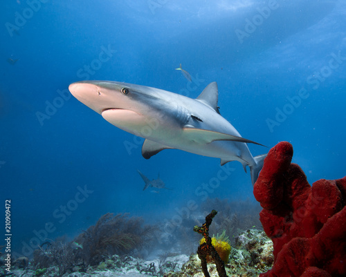 Obraz na dibondzie (fotoboard) Rekin karaibski