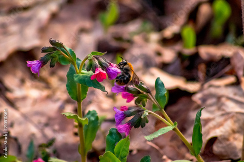 Staande foto Bloemen Unspotted lungwort (Pulmonaria obscura) in the spring forest