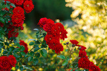 Beautiful Blooming Red Rose On...