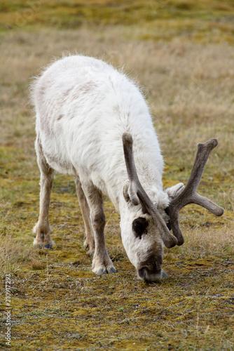 Papiers peints Scandinavie Svalbard reindeer on the grass in Spitzbergen