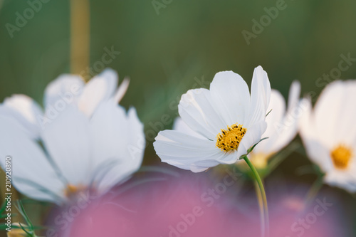 Poster de jardin Nénuphars field of blooming white sulphureus cosmos flower in the garden, Thailand