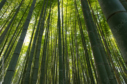Spoed Foto op Canvas Bamboo Bamboo grass stalk plants stems growing in dense forest as a peaceful green background