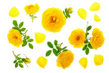 Wild Yellow Rose Blooming Flower Isolated On A White Background. Top View. Flat Lay Pattern