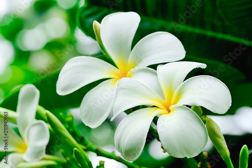Poster Frangipani Plumeria flowers are white in color, but yellow in the middle of flowers.