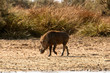 Wild boar in the Djoudj National Bird Sanctuary, Senegal. UNESCO World Heritage
