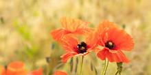 Red Poppy Flower Field Panorama
