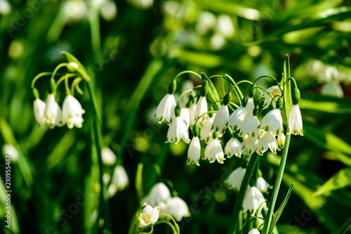Photo Stands Lily of the valley Beautiful blooming lily of the valley in the summer garden