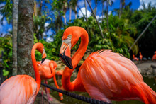 Group Of Red Flamingo In The Water
