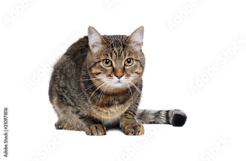 Photo Laying big tabby cat isolated on white front view portrait