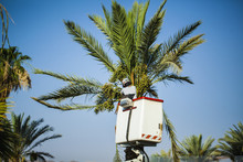 Worker  Planting  Greenery Spend Pruning  Leaves And Branches  Folded Date Palm In Israel  Eilat Standing On The Hydraulic Lift