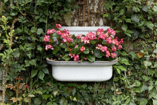 Garten Gartenideen Blumen Begonien Buy This Stock Photo And