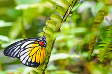 Painted Jezebel Butterfly