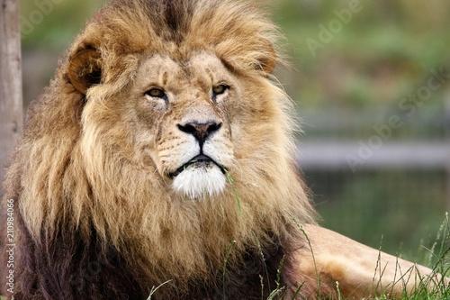 Staande foto Leeuw lion like Aslan of narnia