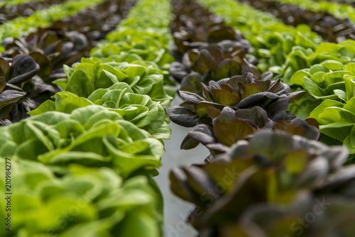 Canvas Print Lettuce hydroponic crops in greenhouse
