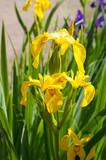 Iris pseudacorus yellow flowers