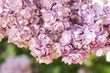 Syringa vulgaris purple lilac flowers close up