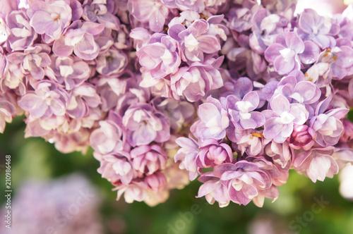 Foto op Canvas Lilac Syringa vulgaris purple lilac flowers close up