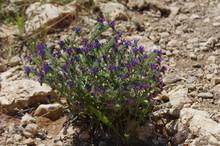 Blaue Wildblume In Südfrankre...