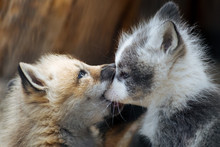Cute Gray And Ginger Fox Cubs Playing