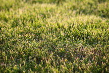 Texture Of Dry Lawn Grass