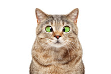 Portrait Of A Funny Cross-eyed Cat Scottish Straight Isolated On White Background