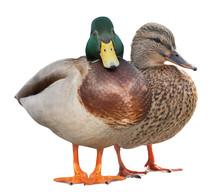 Isolated On White Two Standing Mallard Ducks