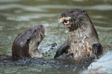 Cute Funny River Otters Playin...