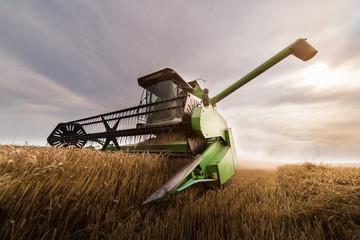 Fototapeta Harvesting of wheat field with combine